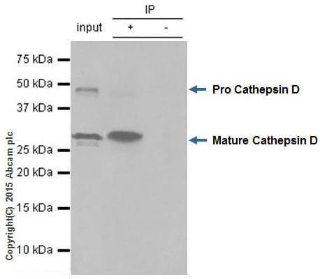 Immunoprecipitation - Anti-Cathepsin D antibody [EPR3057Y] - BSA and Azide free (ab207549)