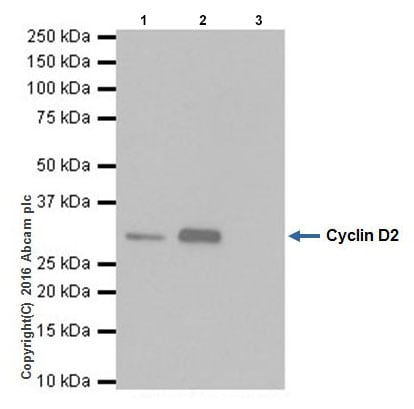 Immunoprecipitation - Anti-Cyclin D2 antibody [EPR19659] (ab207604)