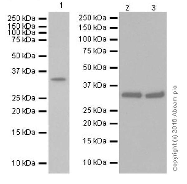 Western blot - Anti-Cyclin D2 antibody [EPR19659] (ab207604)