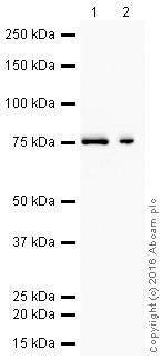 Western blot - Anti-Moesin antibody [EP1863Y] (HRP) (ab207629)