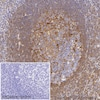 Immunohistochemistry (Formalin/PFA-fixed paraffin-embedded sections) - HRP Anti-Moesin antibody [EP1863Y] (ab207629)