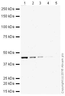 Western blot - Anti-PTP1B antibody [EP1841Y] (HRP) (ab207635)