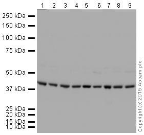 Western blot - HRP Anti-Actin antibody [EPR16769] (ab207674)