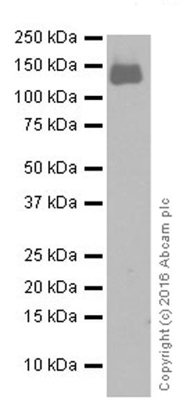 Western blot - Anti-CD22 antibody [EPR20061] (ab207727)