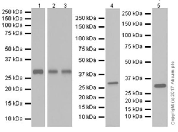 Western blot - Anti-IL-33 antibody [EPR20417] (ab207737)