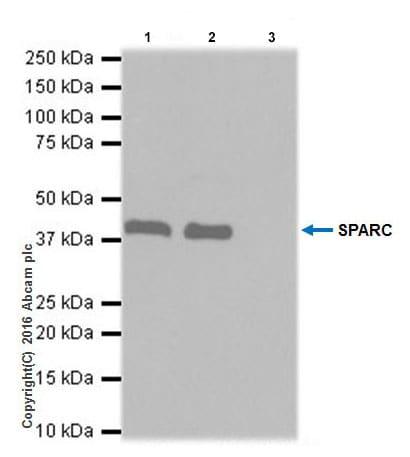 Immunoprecipitation - Anti-SPARC antibody [EPR20121] (ab207743)