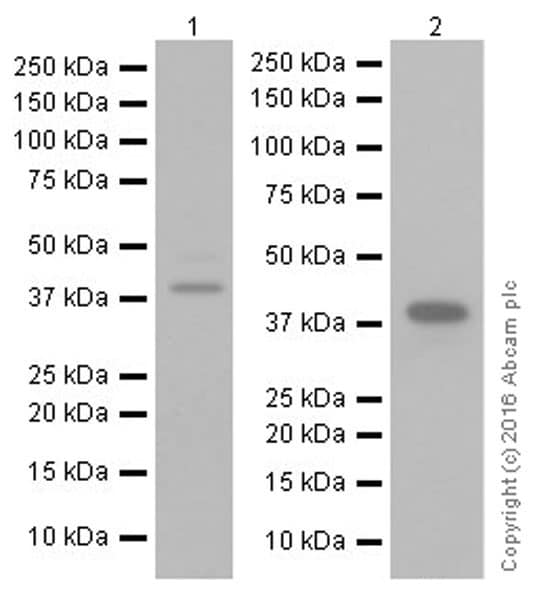 Western blot - Anti-SPARC antibody [EPR20121] (ab207743)
