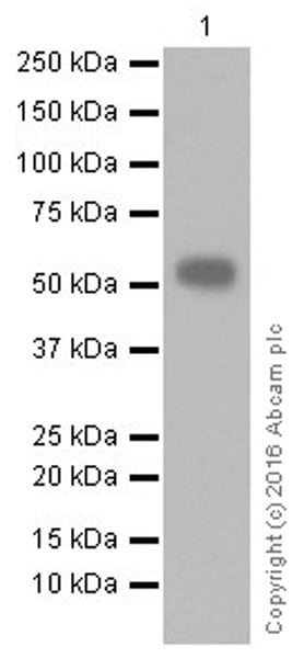 Western blot - Anti-CD4 antibody [EPR20122] (ab207755)