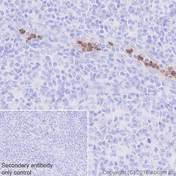 Immunohistochemistry (Formalin/PFA-fixed paraffin-embedded sections) - Anti-Cathelicidin/CLP antibody [EPR20469] (ab207758)