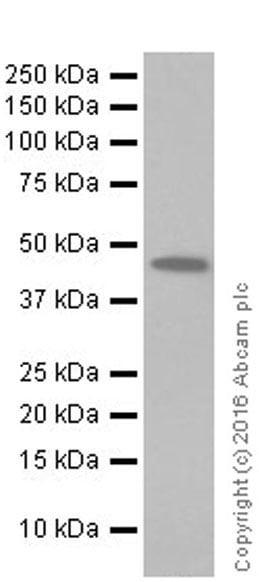 Western blot - Anti-BHMT antibody [EPR20076] (ab207765)