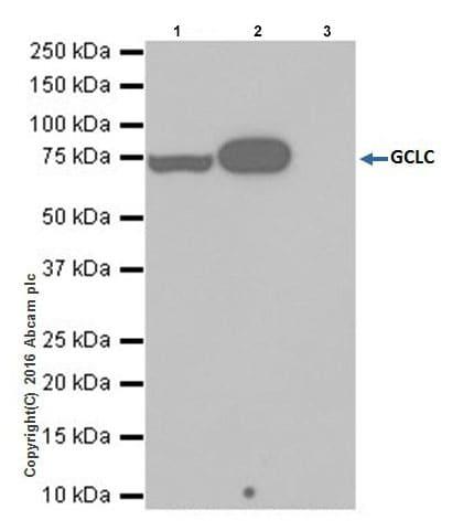Immunoprecipitation - Anti-GCLC antibody [EPR20078] (ab207777)