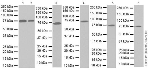 Western blot - Anti-GCLC antibody [EPR20078] (ab207777)