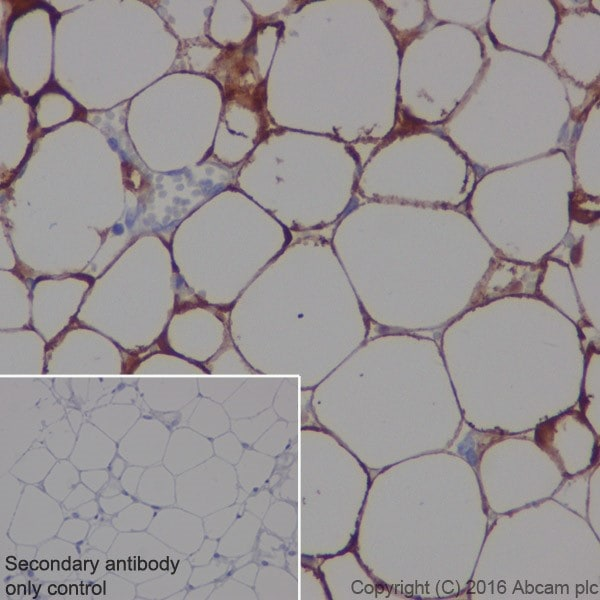 Immunohistochemistry (Formalin/PFA-fixed paraffin-embedded sections) - Anti-Adipose Triglyceride Lipase antibody [EPR19650] (ab207799)