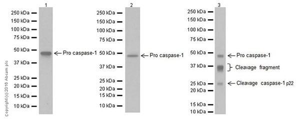 Western blot - Anti-Caspase-1 antibody [EPR19672] (ab207802)