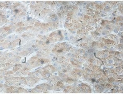 Immunohistochemistry (Formalin/PFA-fixed paraffin-embedded sections) - Anti-Ssu72 antibody (ab207849)