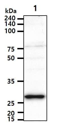 Western blot - Anti-STEAP1 antibody [J2D2] - N-terminal (ab207914)