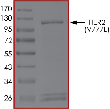 SDS-PAGE - Recombinant human ErbB 2 (mutated V777 L) protein (ab207945)