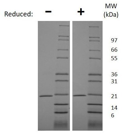 SDS-PAGE - Recombinant mouse RANKL protein (Animal Free) (ab207959)