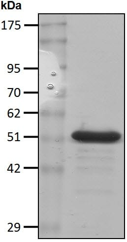 SDS-PAGE - Recombinant Human Proteasome 19S S5A/ASF protein (ab207984)