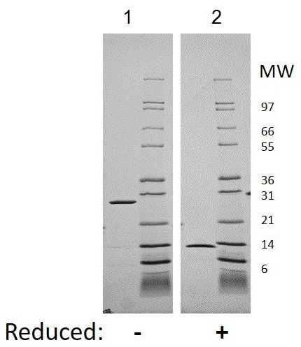 SDS-PAGE - Recombinant human IL-5 protein (Active) (ab207986)