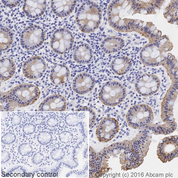 Immunohistochemistry (Formalin/PFA-fixed paraffin-embedded sections) - Goat Anti-Chicken IgY H&L (Biotin) (ab207998)
