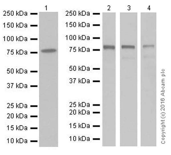 Western blot - Anti-IRAK-1 antibody [EPR19667] (ab208009)