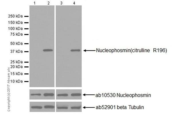 Western blot - Anti-Nucleophosmin (citrulline R196) antibody [EPR20172] (ab208015)