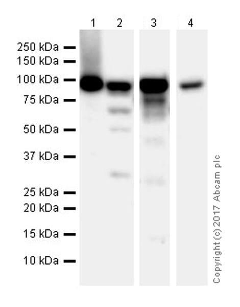 Western blot - Anti-Mre11 antibody [EPR21027] - ChIP Grade (ab208020)