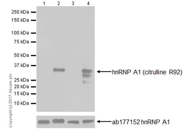 Western blot - Anti-hnRNP A1 (citrulline R92) antibody [EPR20174] (ab208026)