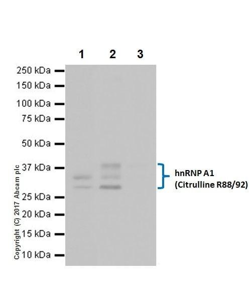Immunoprecipitation - Anti-hnRNP A1 (citrulline R88 + R92) antibody [EPR20175] (ab208027)