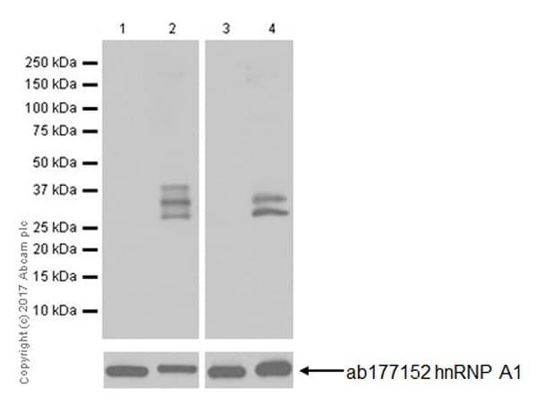 Western blot - Anti-hnRNP A1 (citrulline R88 + R92) antibody [EPR20175] (ab208027)
