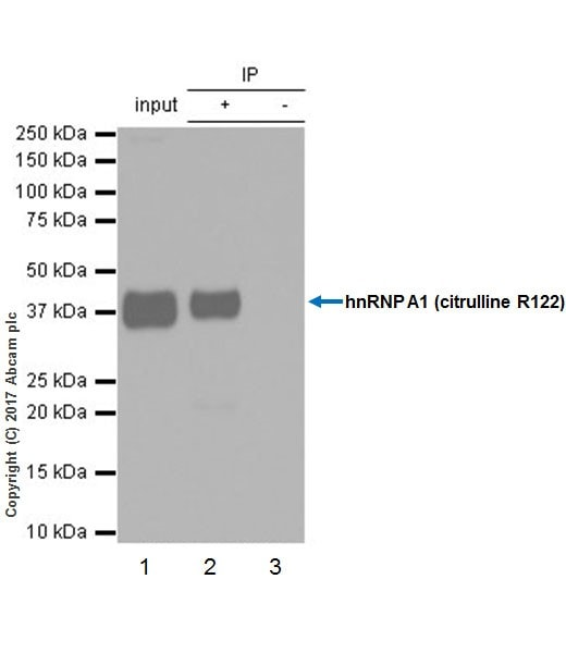 Immunoprecipitation - Anti-hnRNP A1 (citrulline R122) antibody [EPR20177] (ab208029)