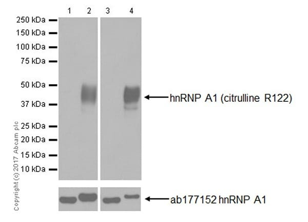 Western blot - Anti-hnRNP A1 (citrulline R122) antibody [EPR20177] (ab208029)
