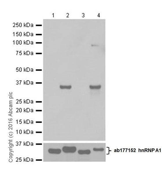 Western blot - Anti-hnRNP A1 (citrulline R140) antibody [EPR20178] (ab208030)