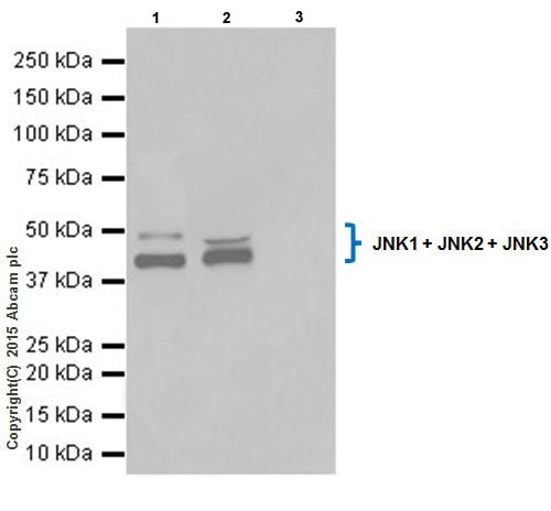 Immunoprecipitation - Anti-JNK1+JNK2+JNK3 antibody [EPR18841-95] (ab208035)