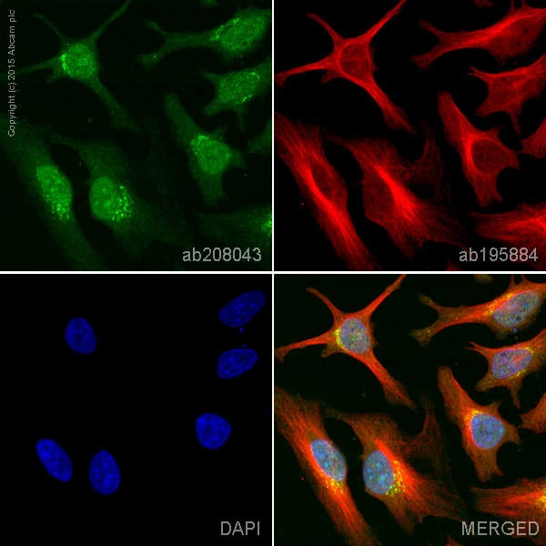 Immunocytochemistry/ Immunofluorescence - Alexa Fluor® 555 Anti-CDK2 antibody [E304] (ab208043)