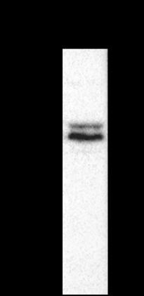 Western blot - Anti-KAT2A / GCN5 antibody [AT3G13] (ab208097)