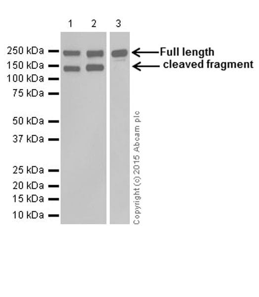 Western blot - Anti-L1CAM antibody [EPR18750] (ab208155)