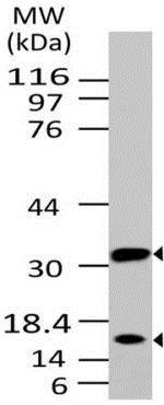 Western blot - Anti-Caspase-3 antibody [ABM1C12] (ab208161)
