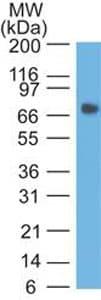 Western blot - Anti-CEACAM1 antibody [CE1] (ab208168)