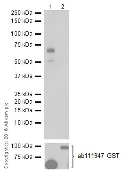 Western blot - Anti-Smad3 antibody [EPR19686] - ChIP Grade (ab208182)