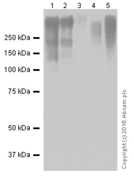 Western blot - Anti-Lipoprotein a antibody [EPR19731] (ab208184)