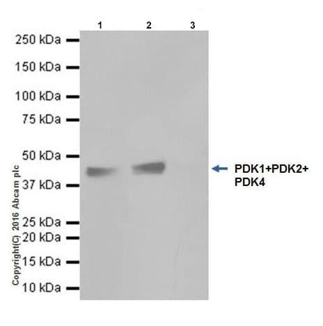 Immunoprecipitation - Anti-PDK1 + PDK2 + PDK4 antibody [EPR19727] (ab208187)