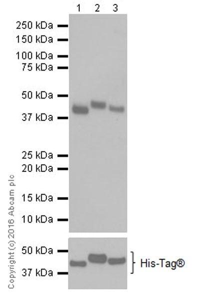Western blot - Anti-PDK1 + PDK2 + PDK4 antibody [EPR19727] (ab208187)
