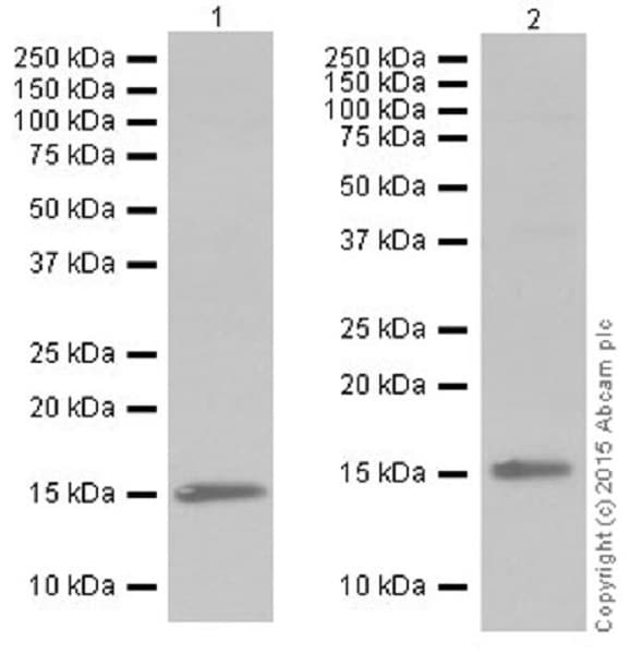 Western blot - Anti-Histone H3 (tri methyl K79) antibody [EPR17468(2)] (ab208189)