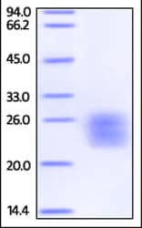 SDS-PAGE - Recombinant human IL-6 protein (Biotin) (ab208325)
