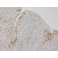 Immunohistochemistry (Formalin/PFA-fixed paraffin-embedded sections) - using Ab208572 on Human tonsil