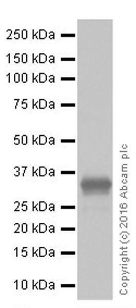 Western blot - Anti-Granzyme B antibody [EPR20129-217] (ab208586)