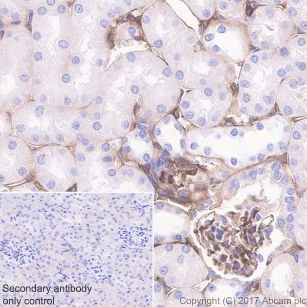 Immunohistochemistry (Formalin/PFA-fixed paraffin-embedded sections) - Anti-Prothrombin antibody [EPR20131] (ab208590)