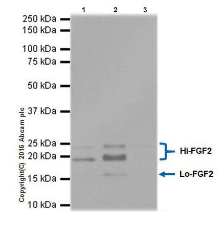 Immunoprecipitation - Anti-FGF2 antibody [EPR20145-219] (ab208687)